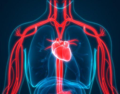 syncope human circulatory System Anatomy